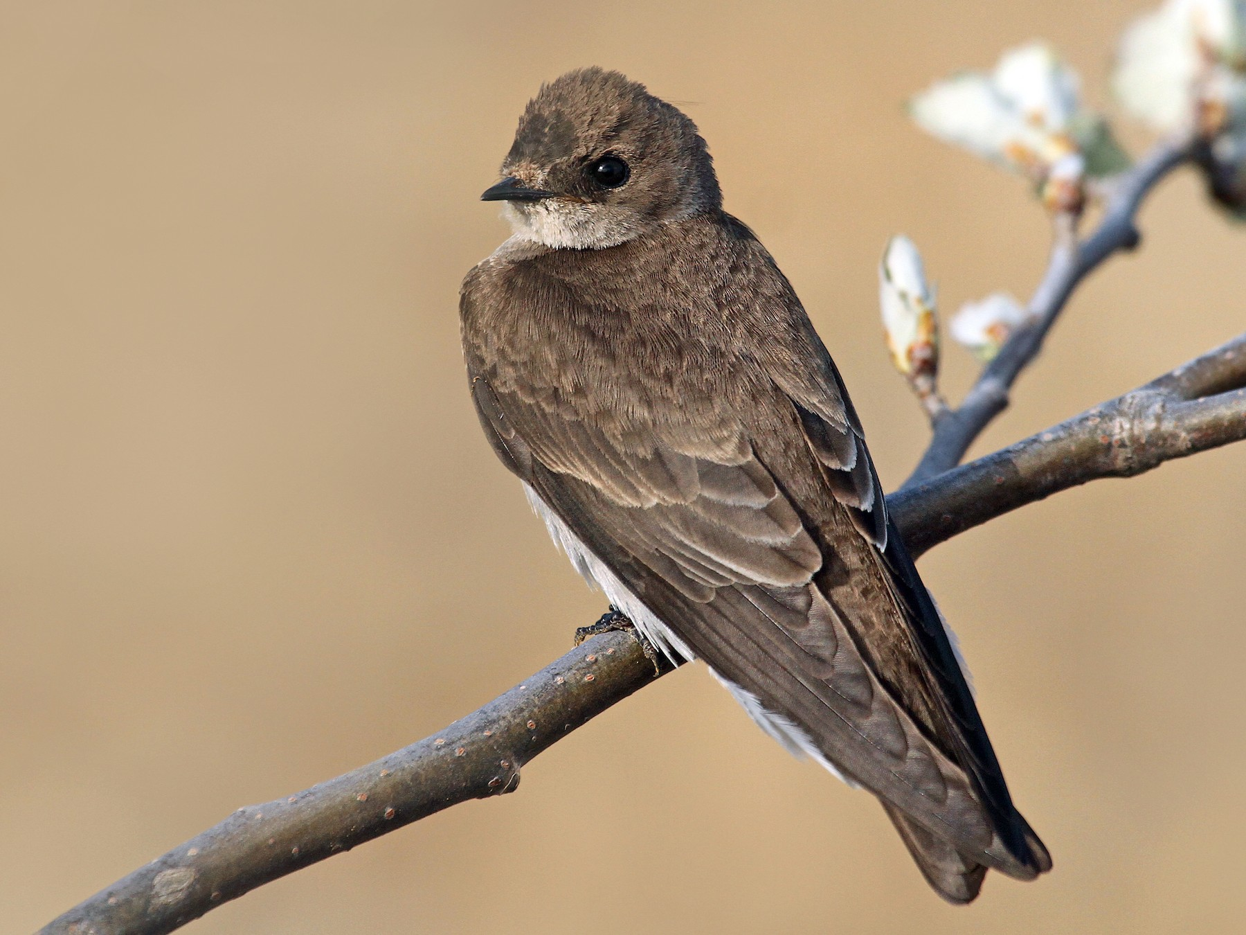 Northern Rough-winged Swallow - Ryan Schain