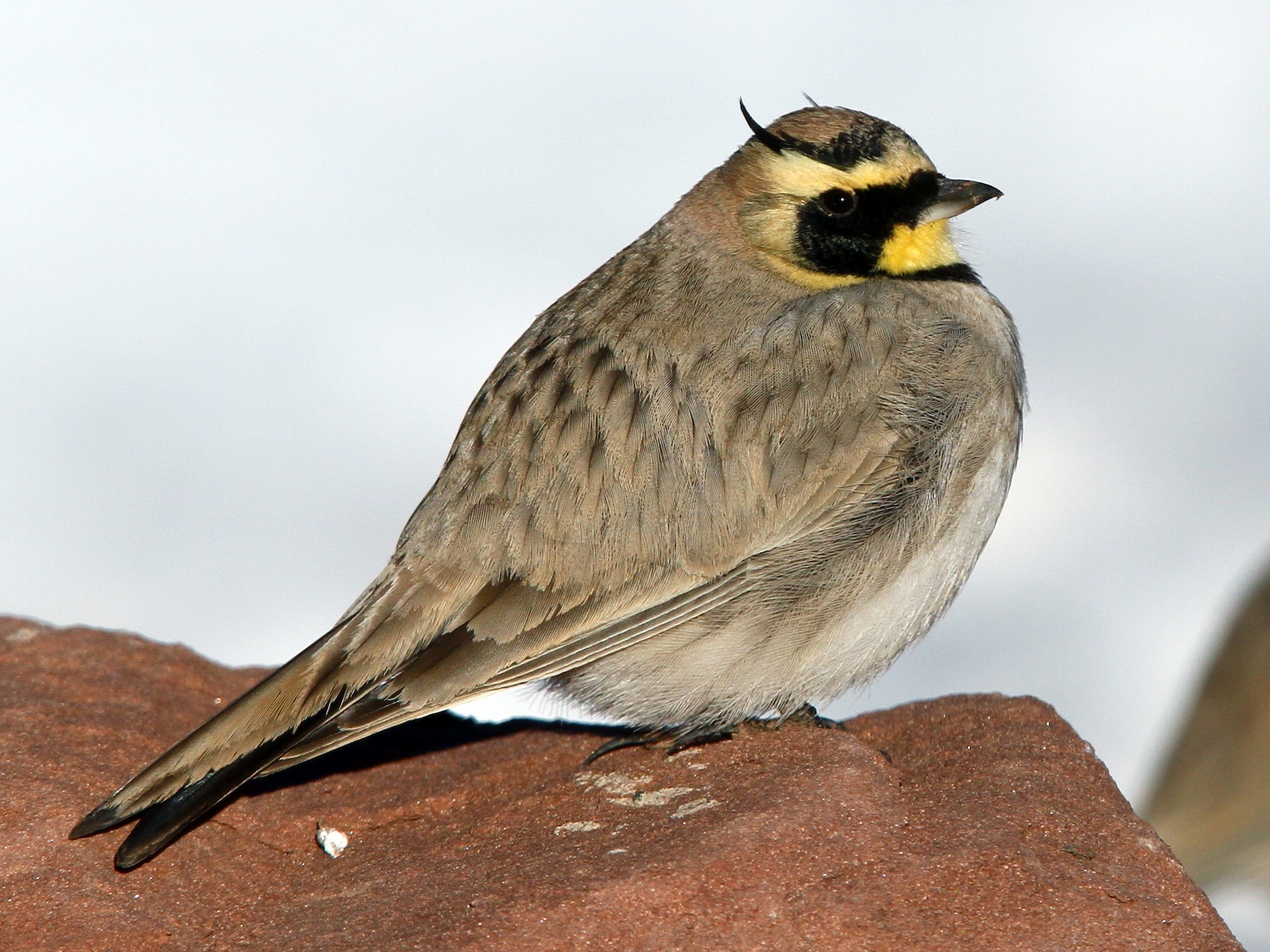 Horned Lark - Christoph Moning
