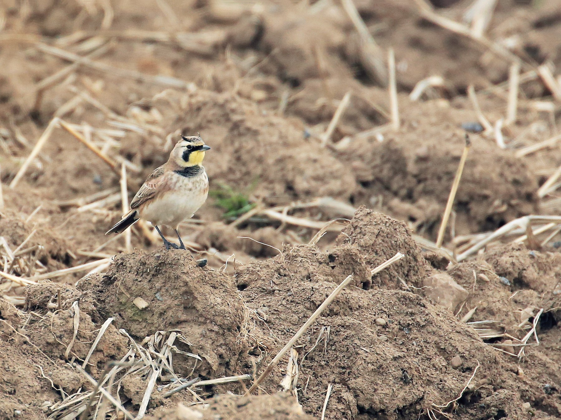 Horned Lark - Tim Lenz