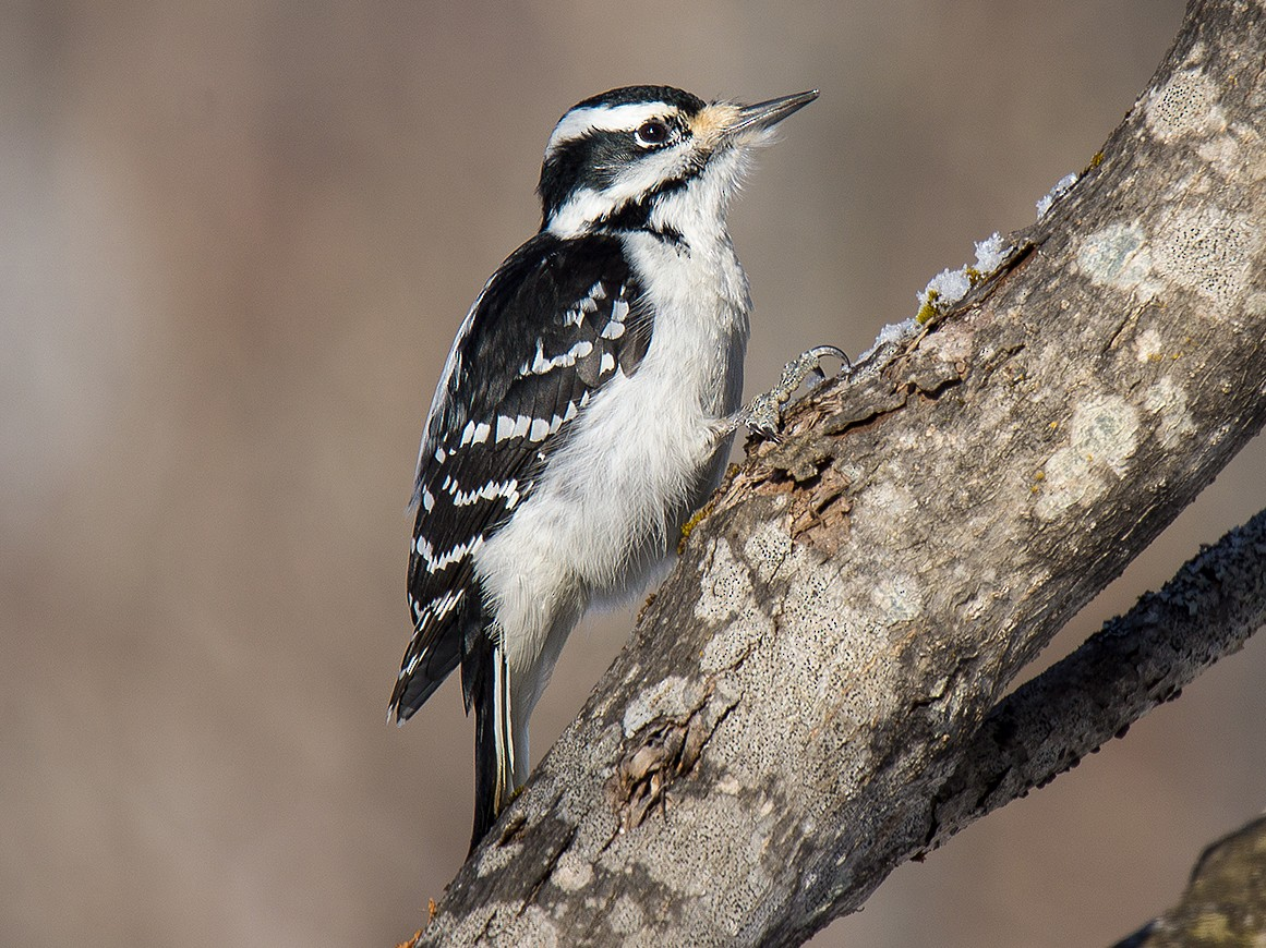 Hairy Woodpecker - David Turgeon