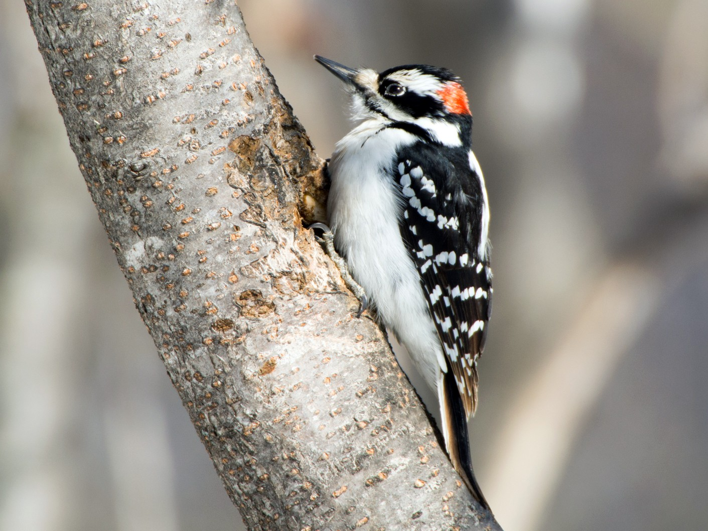 Hairy Woodpecker - Jean-Sébastien Guénette
