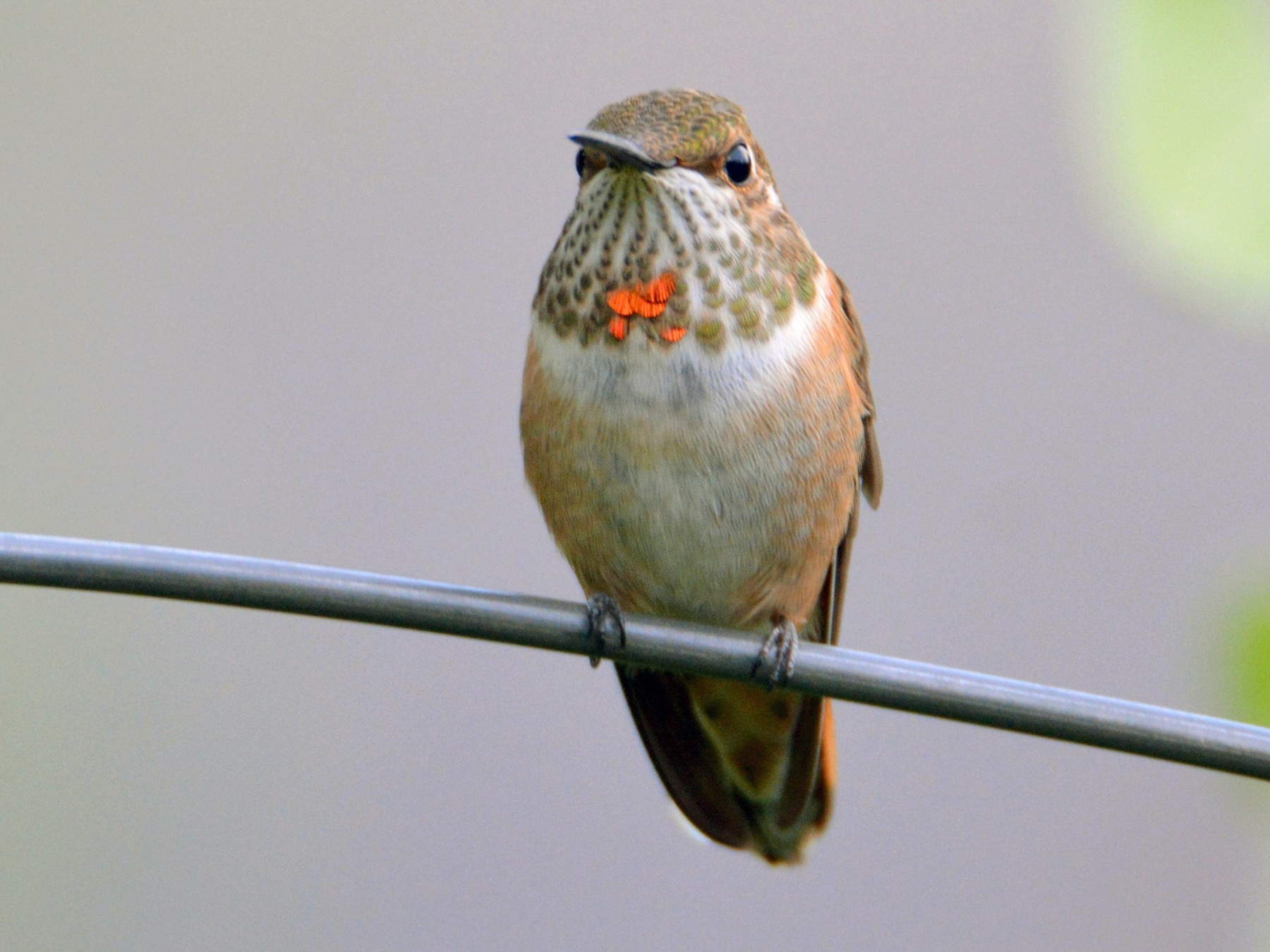 Rufous Hummingbird - David Wade