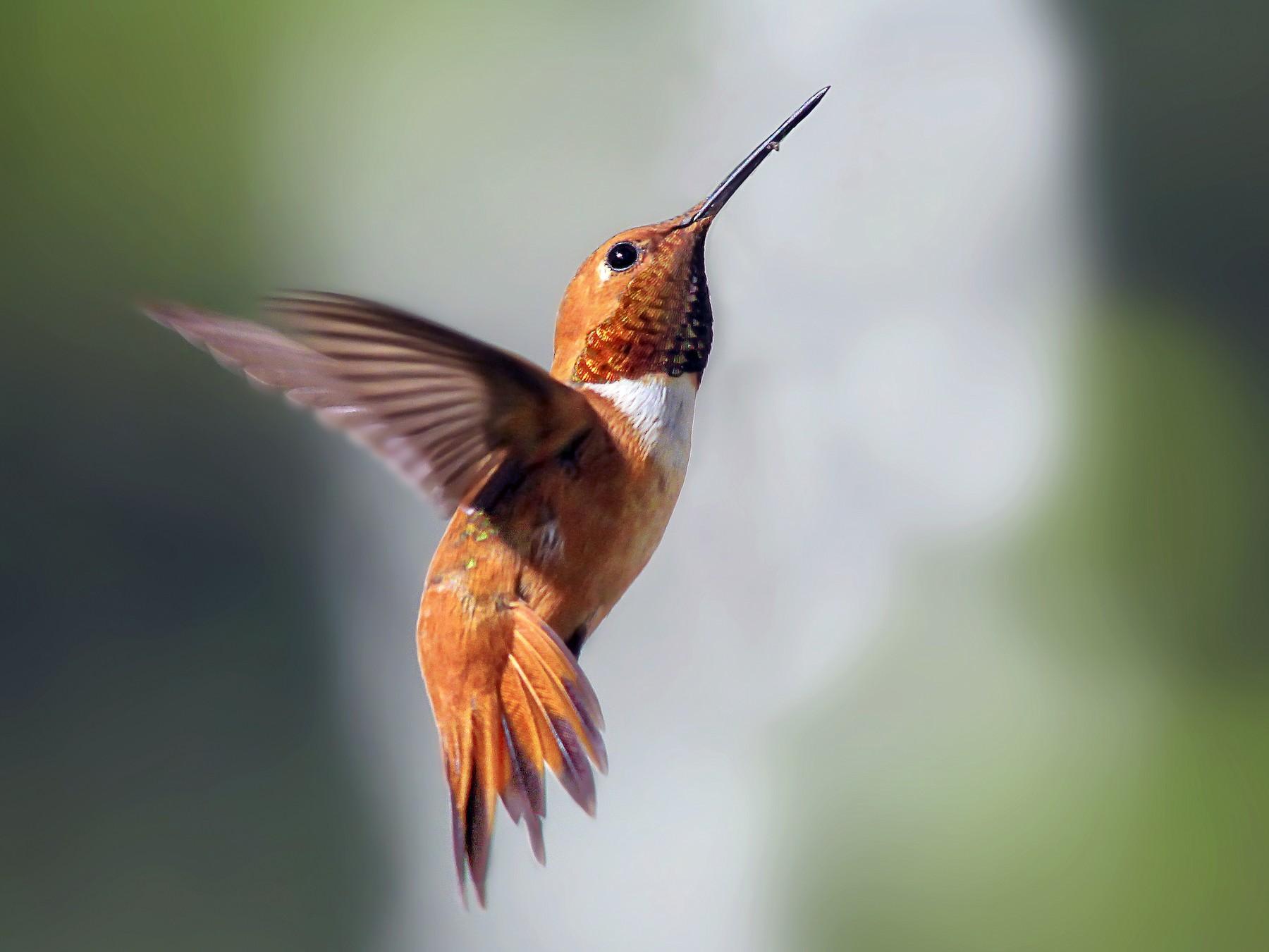 Rufous Hummingbird - Matthew Pendleton