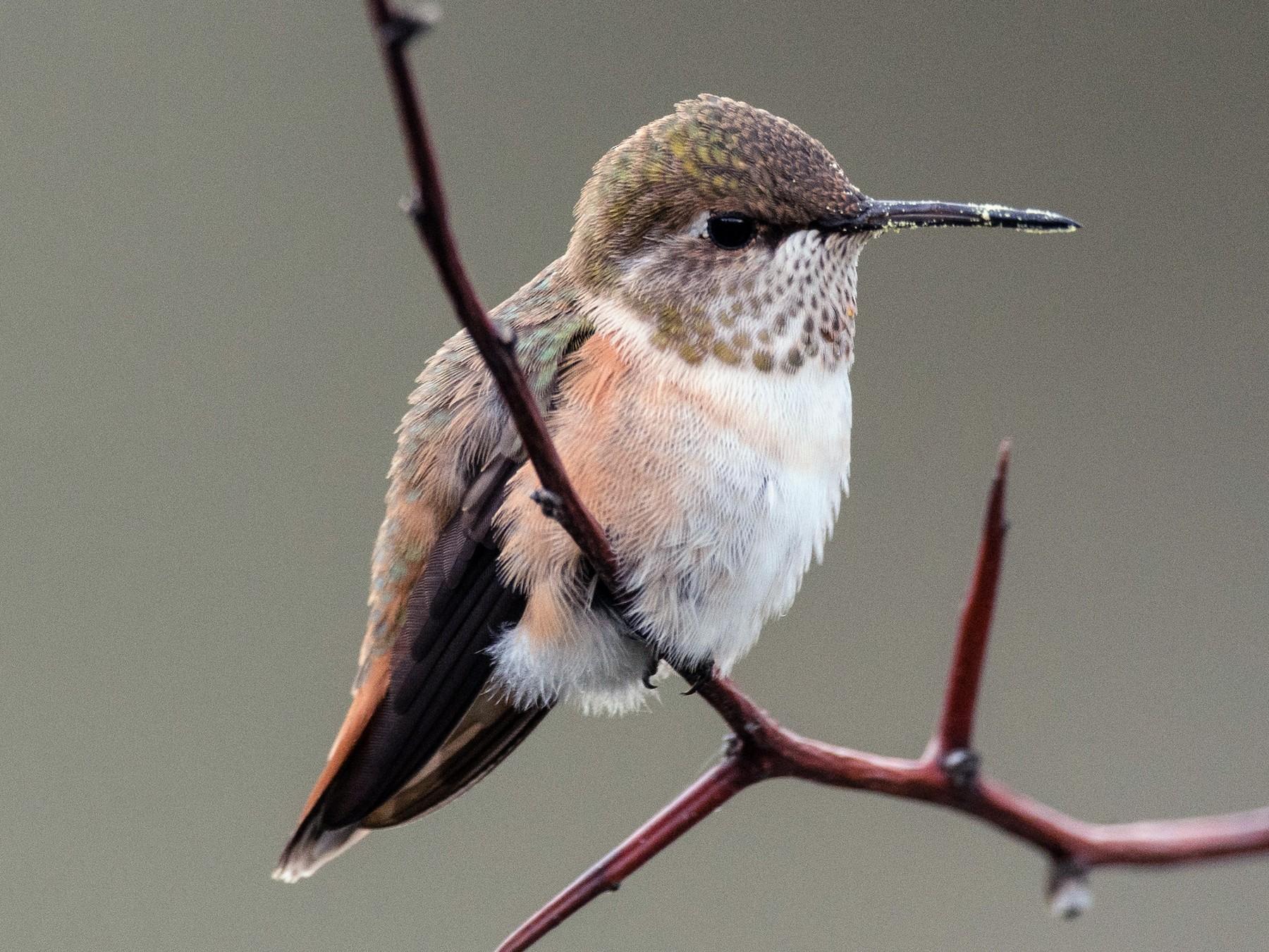 Rufous Hummingbird - Ian Routley