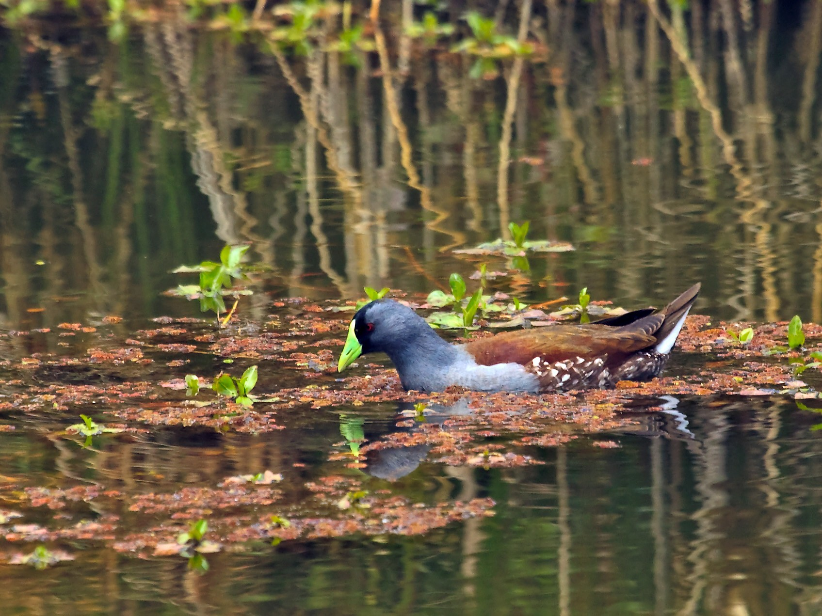 Spot-flanked Gallinule - Nigel Voaden