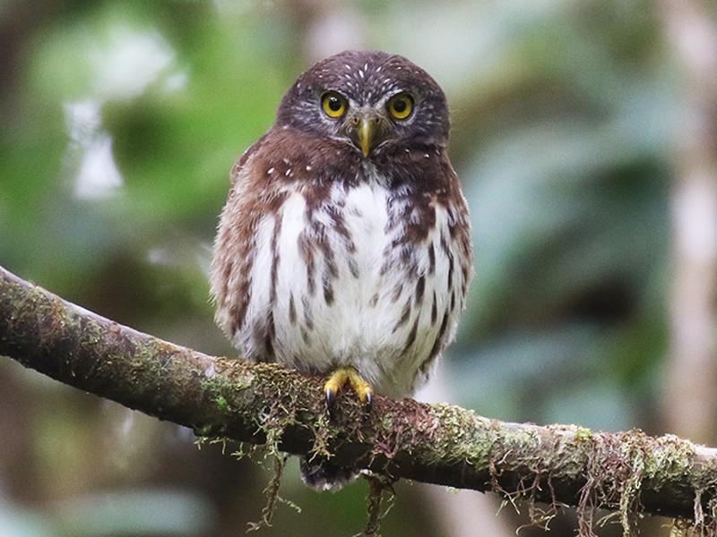 Cloud-forest Pygmy-Owl - Fabrice Schmitt
