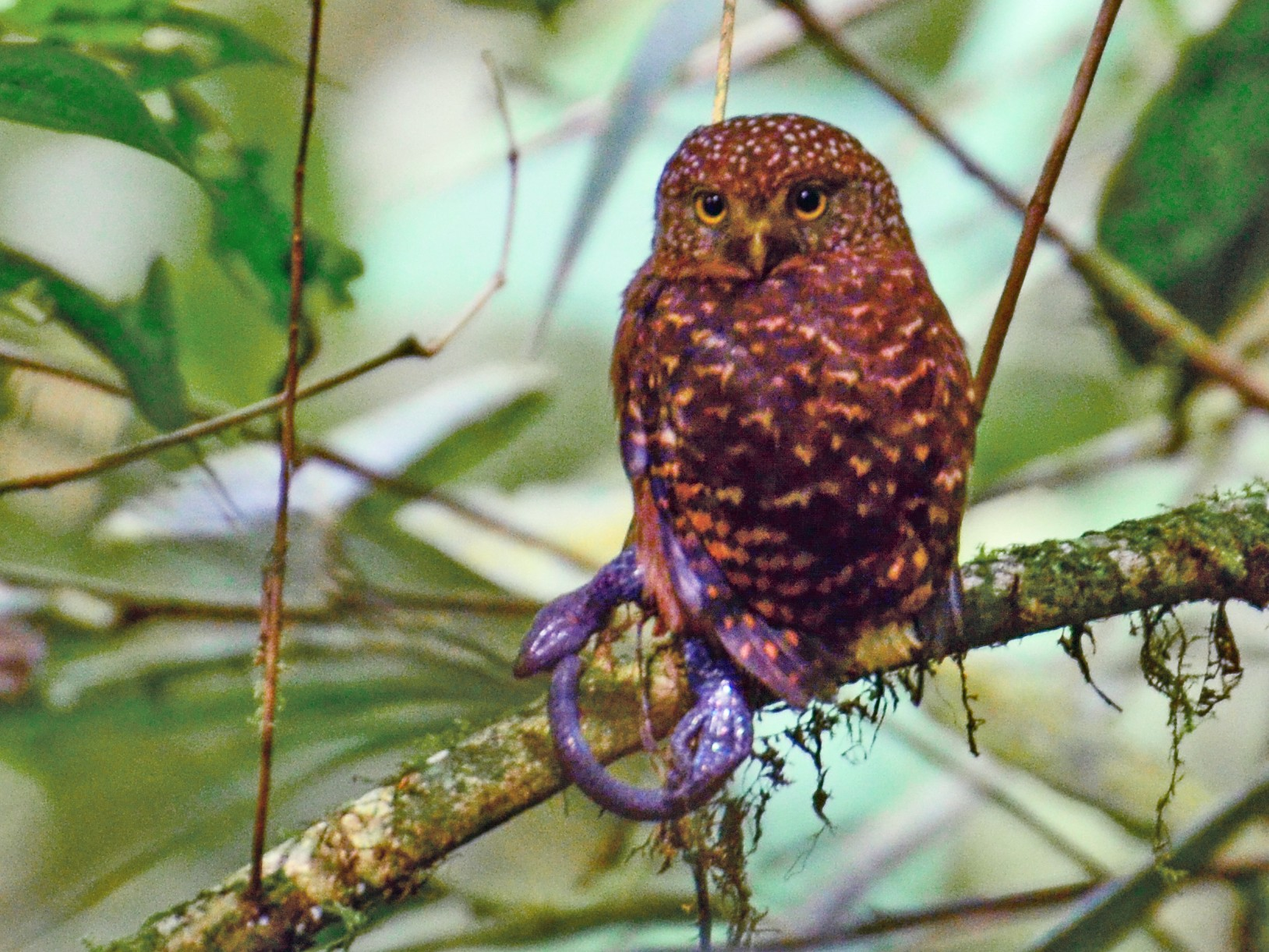 Cloud-forest Pygmy-Owl - Anita Morales