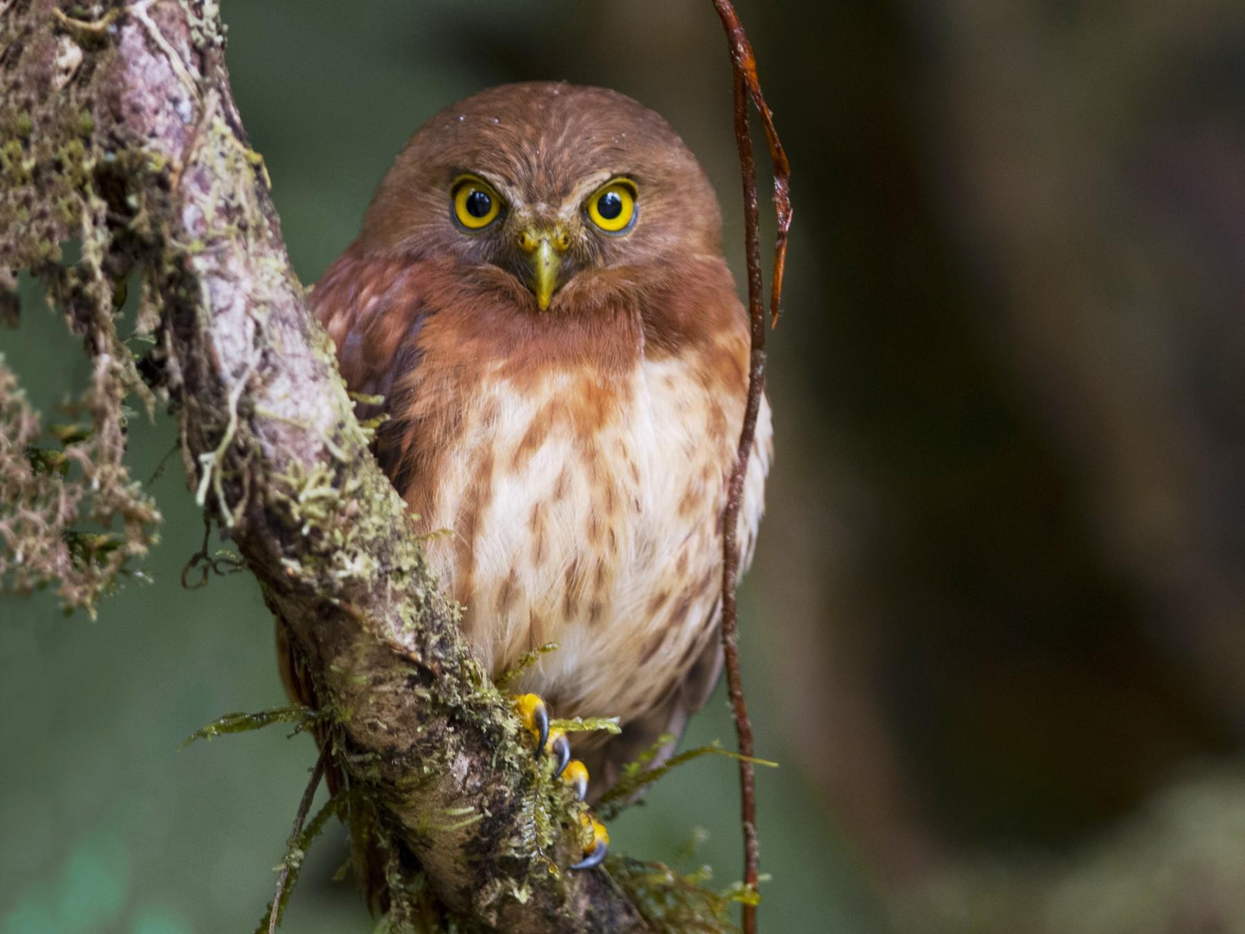 Cloud-forest Pygmy-Owl - John Cahill xikanel.com
