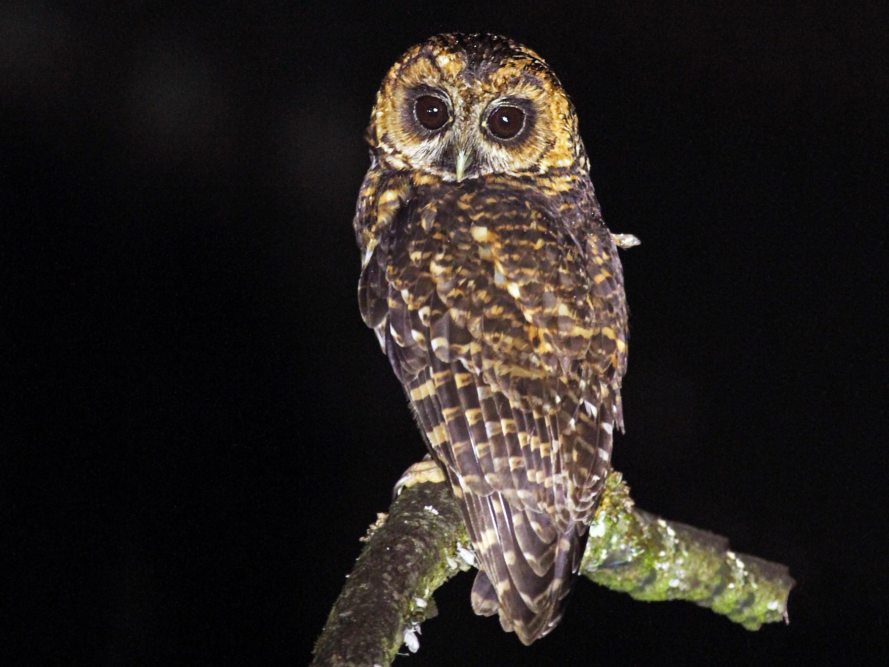 Rufous-banded Owl - Luke Seitz