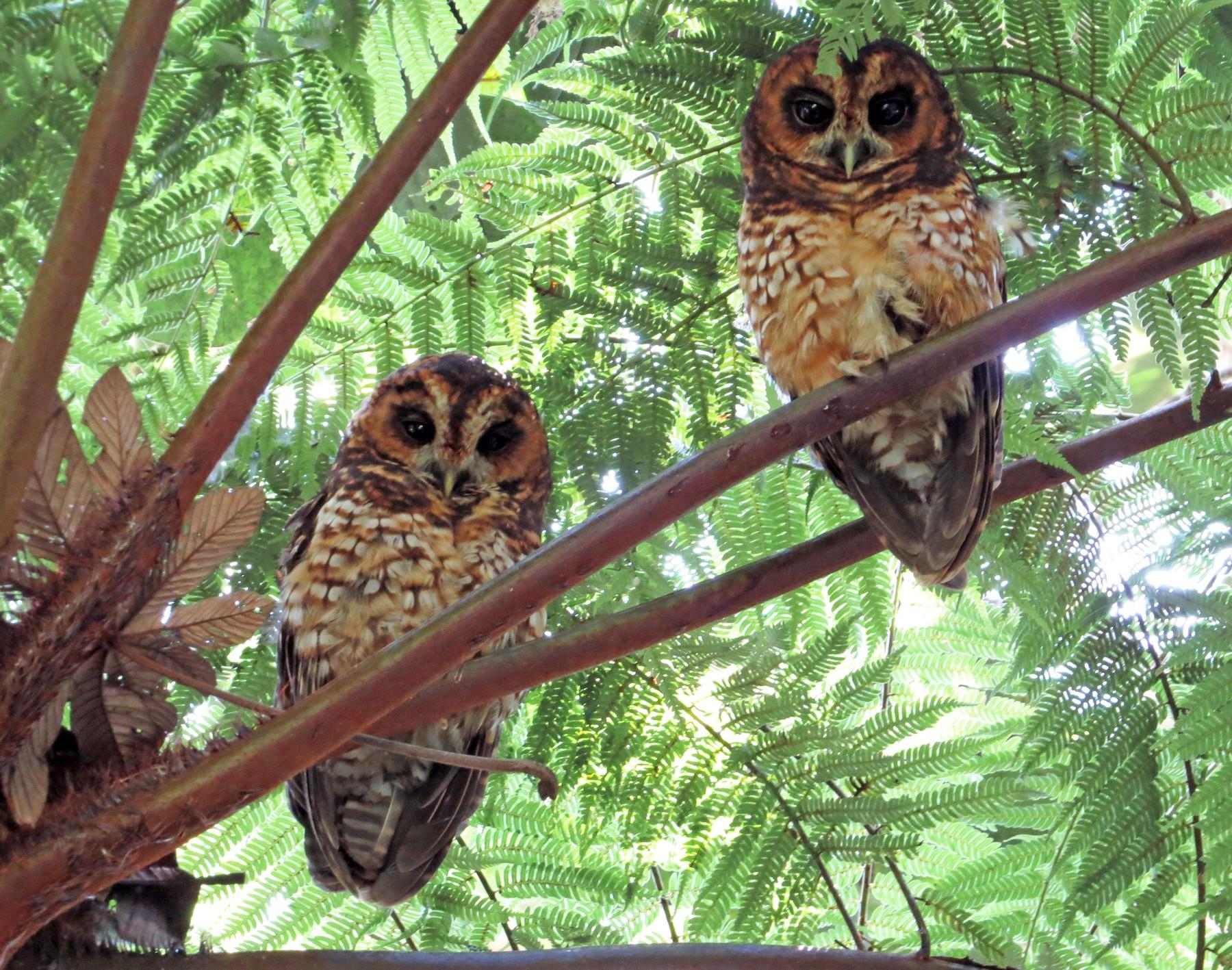 Rufous-banded Owl - Edwar H Guarín