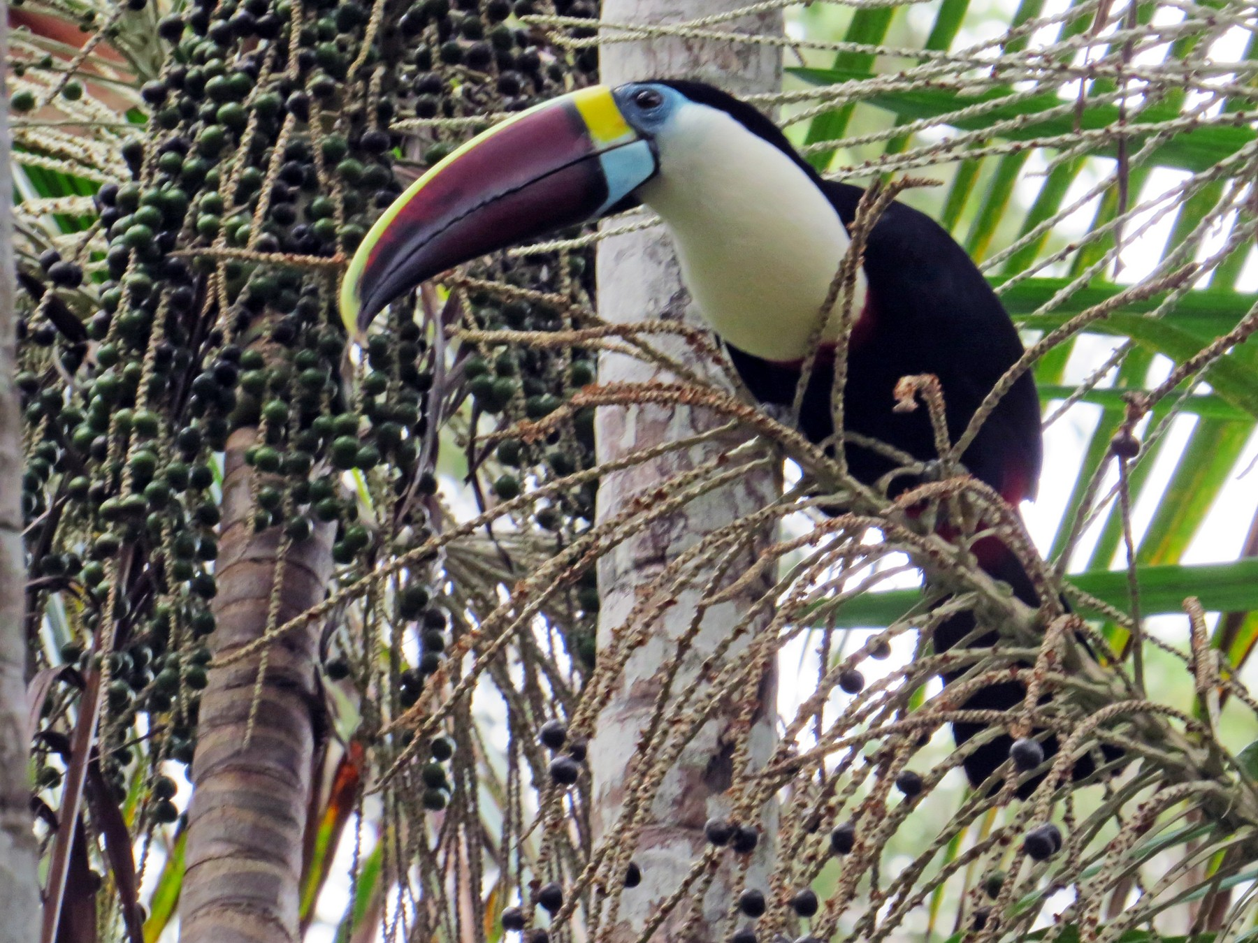 Channel-billed Toucan - Thomas Collins