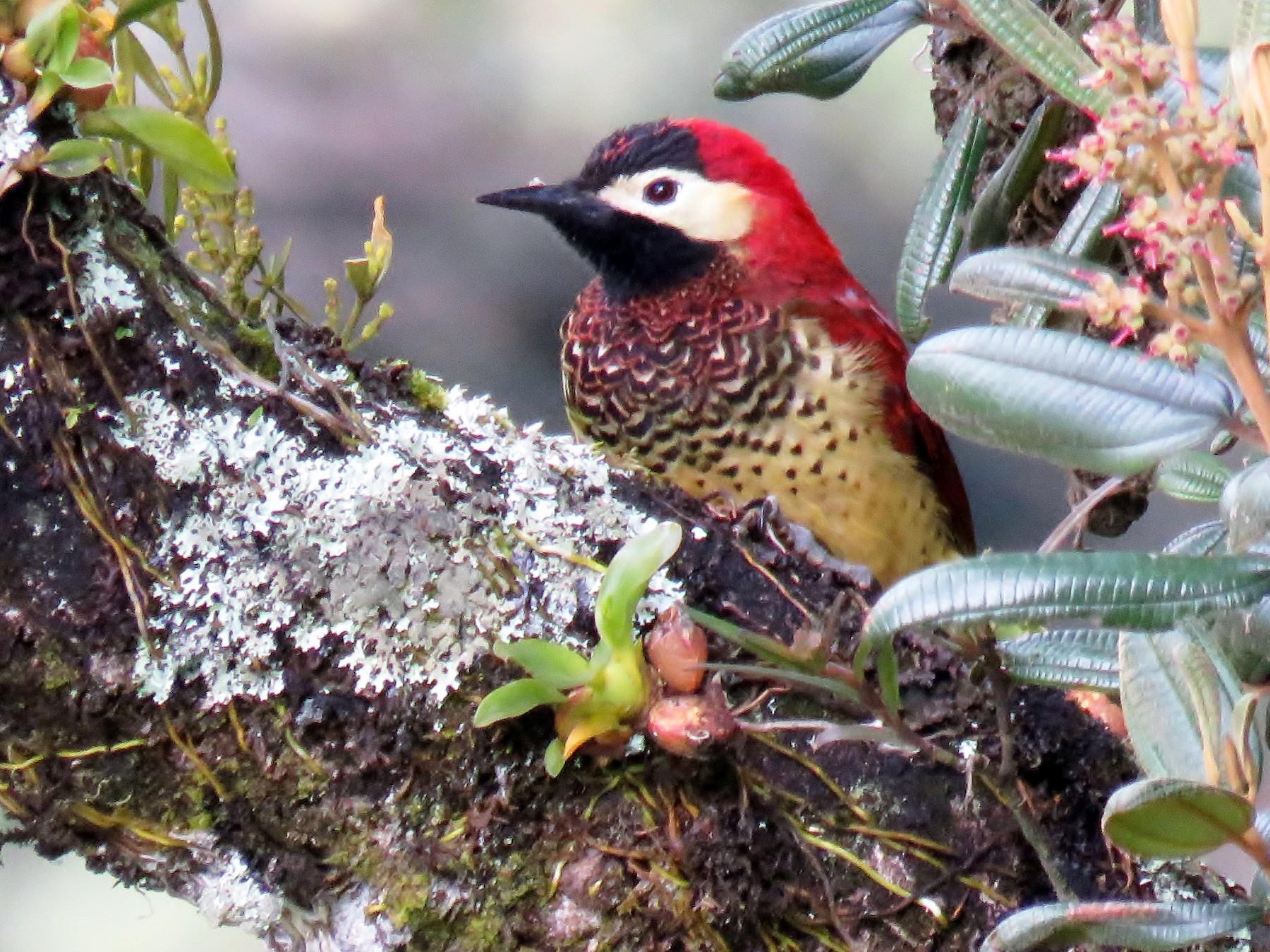 Crimson-mantled Woodpecker - Edward McKen