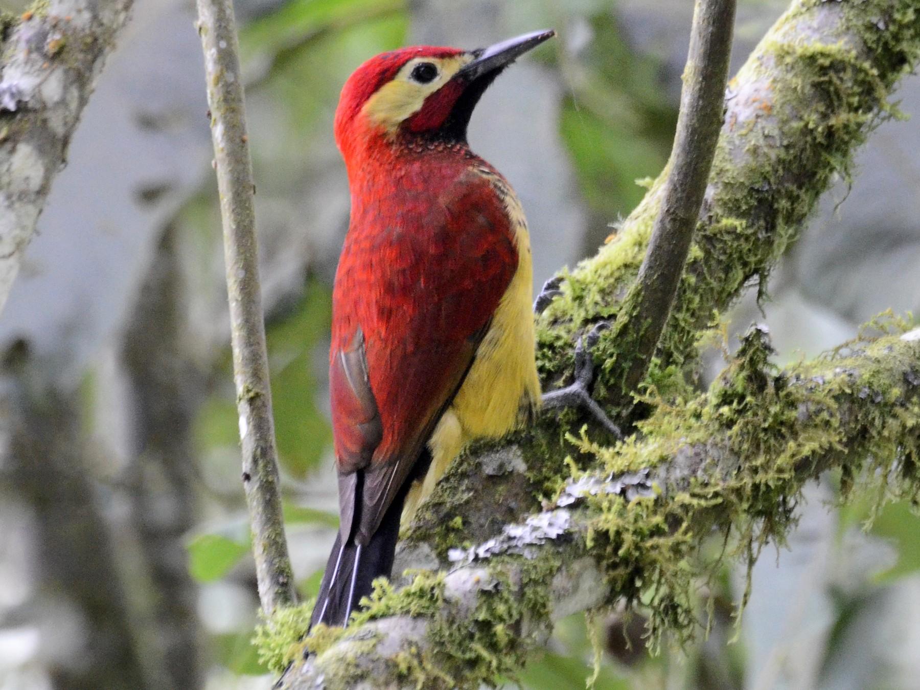 Crimson-mantled Woodpecker - David M. Bell