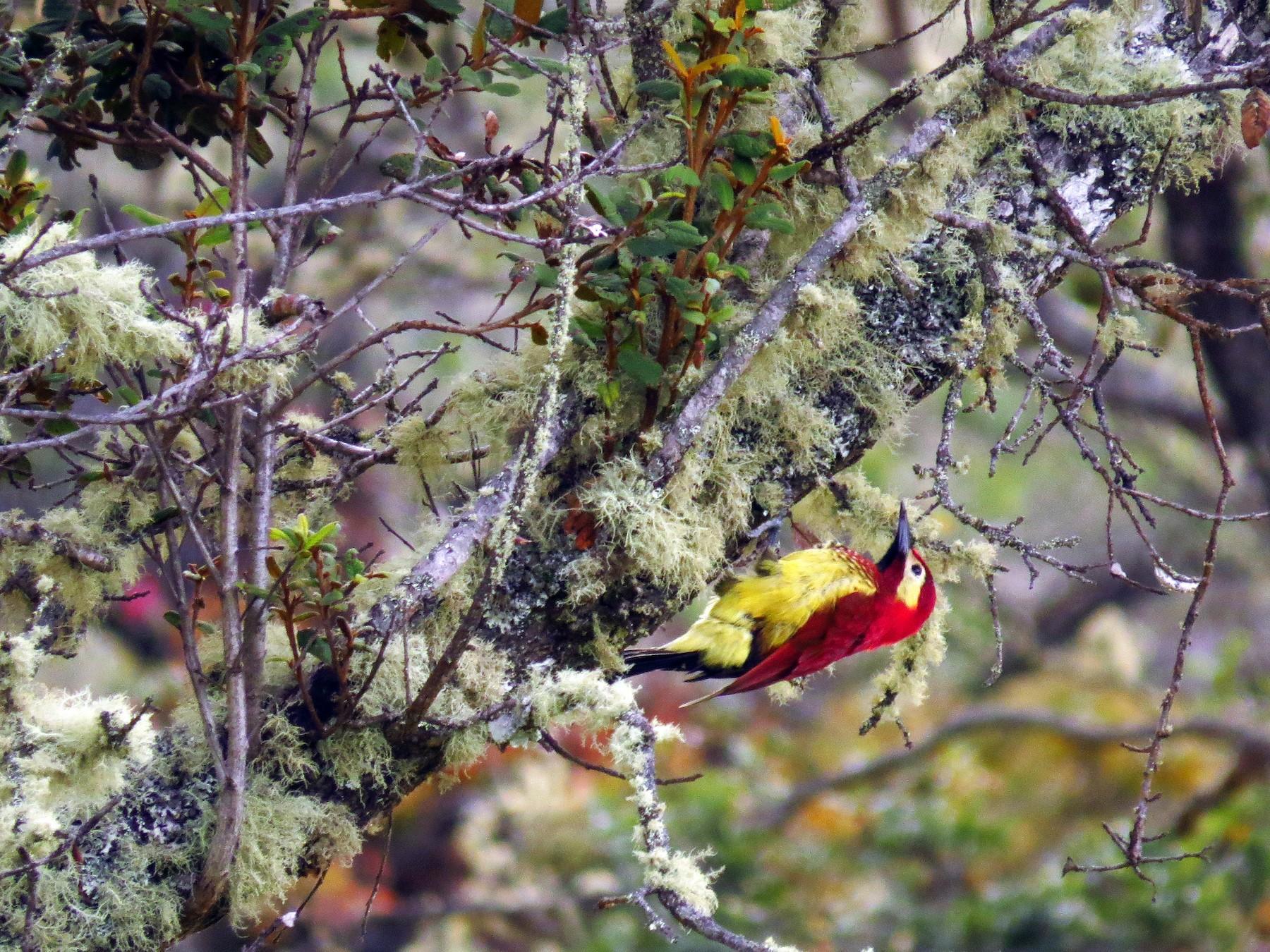 Crimson-mantled Woodpecker - Jorge Muñoz García   CAQUETA BIRDING