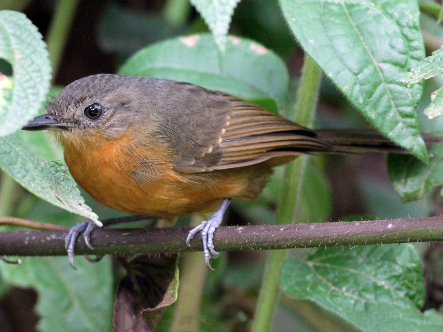 Parker's Antbird - Ian Davies