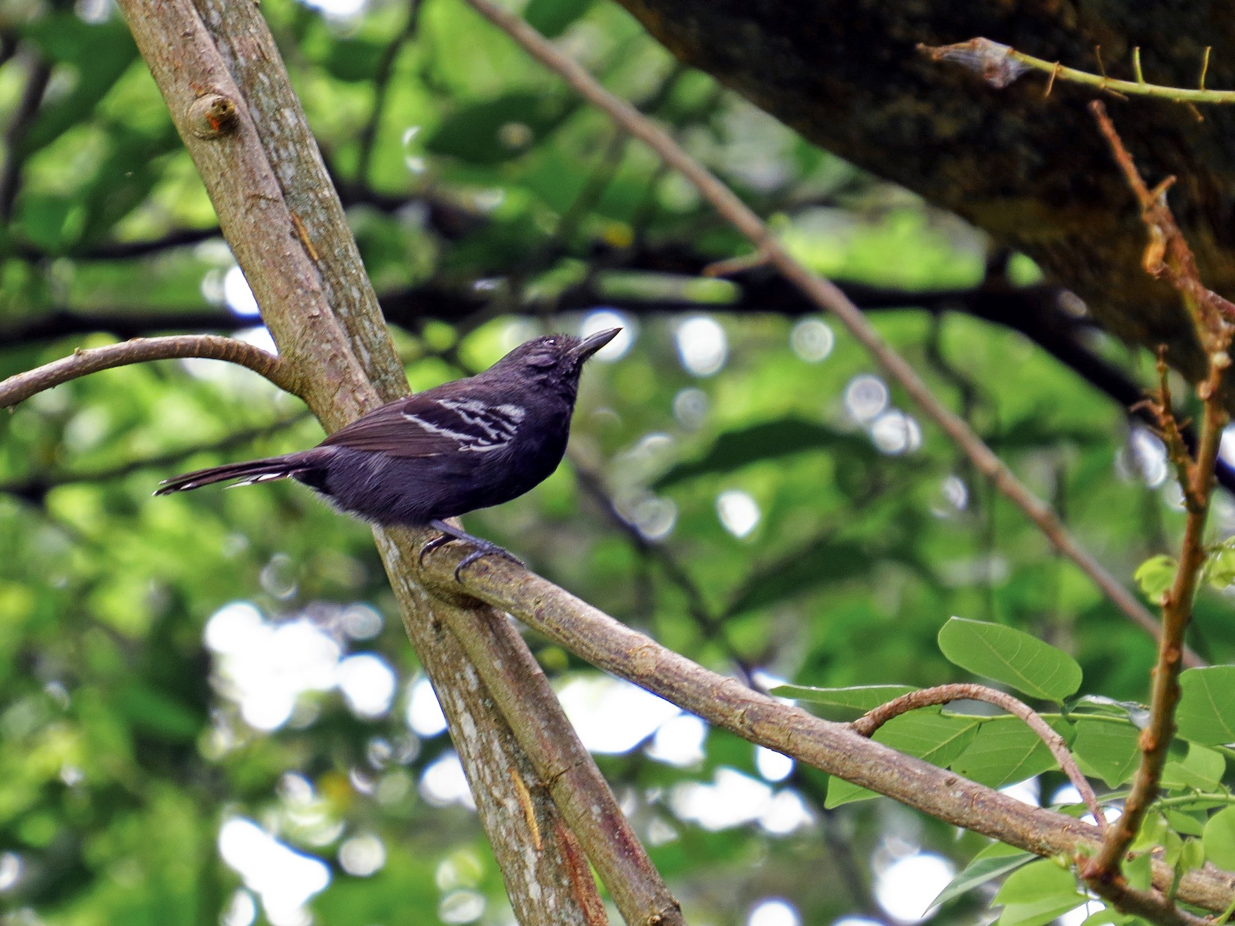Parker's Antbird - Jorge Muñoz García   CAQUETA BIRDING