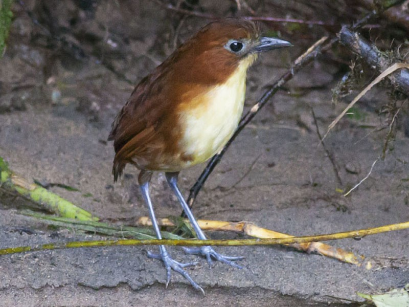 Yellow-breasted Antpitta - Michael Todd