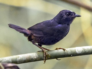 - White-crowned Tapaculo