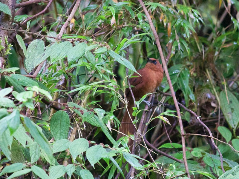 Rufous Spinetail - Michael Todd