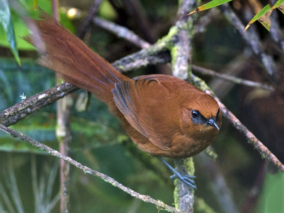 Rufous Spinetail - Anonymous eBirder