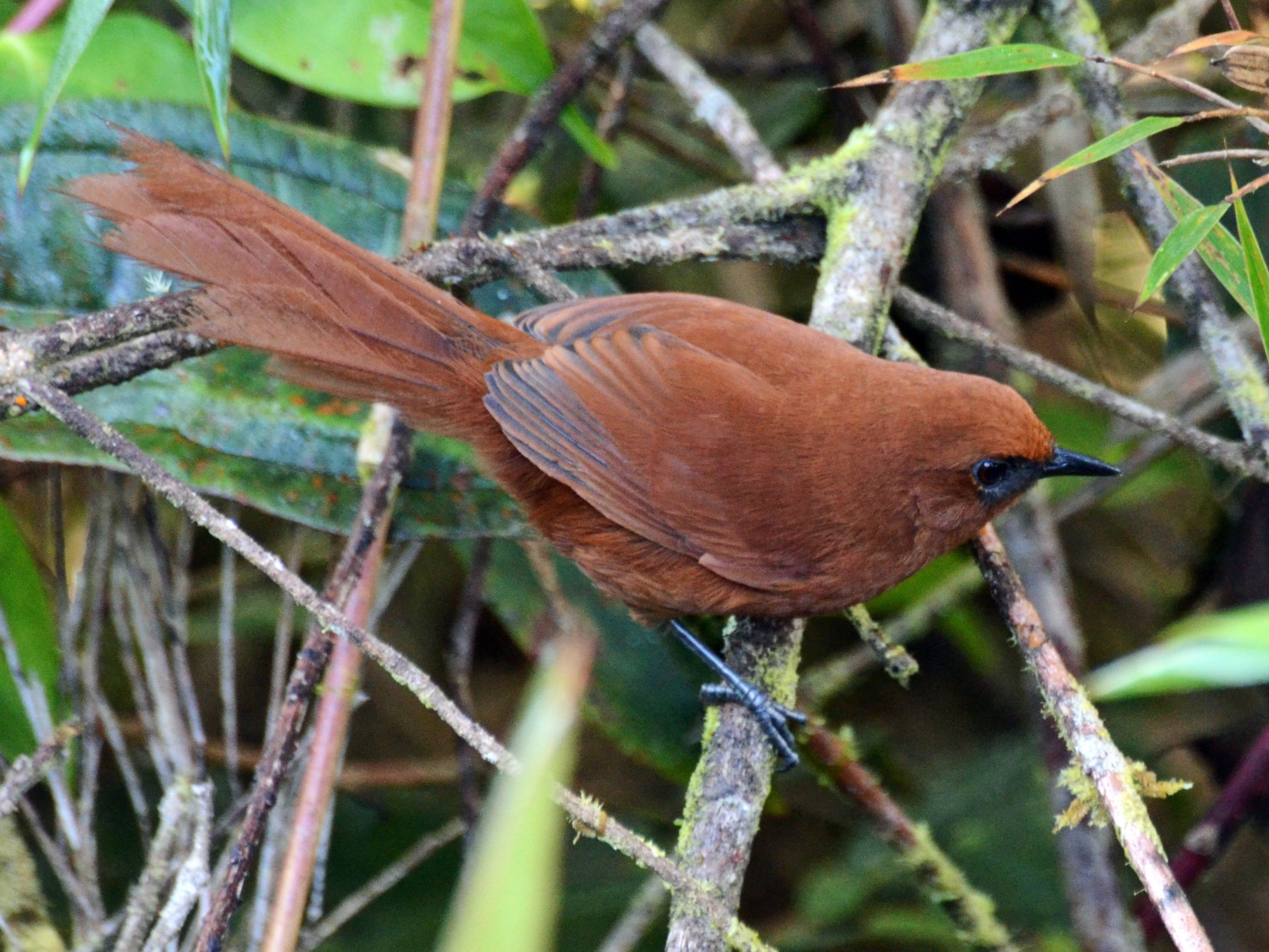 Rufous Spinetail - David M. Bell