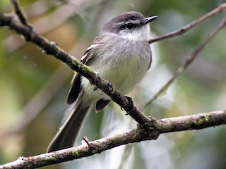 - White-throated Tyrannulet