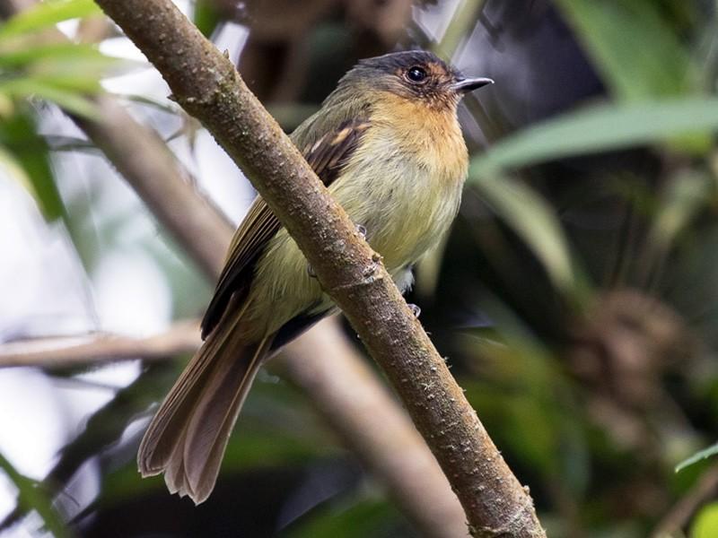 Rufous-breasted Flycatcher - Ken Chamberlain