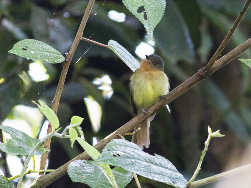 Rufous-breasted Flycatcher - Michael Todd