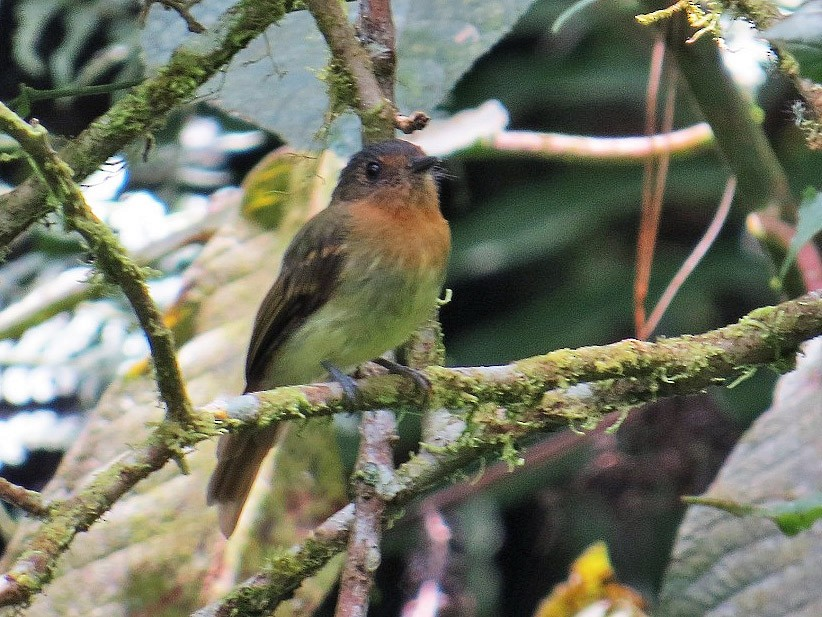 Rufous-breasted Flycatcher - Nick Bayly (SELVA)
