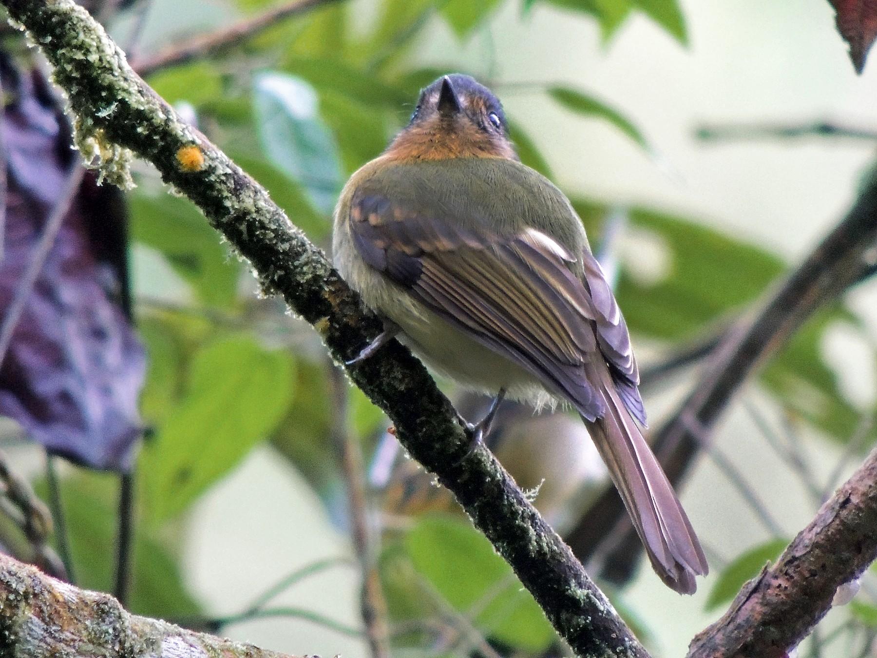 Rufous-breasted Flycatcher - Adalberto Quiroga Villada