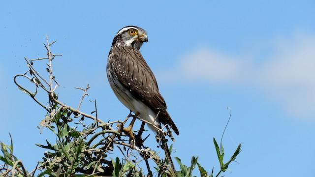 Spot-winged Falconet