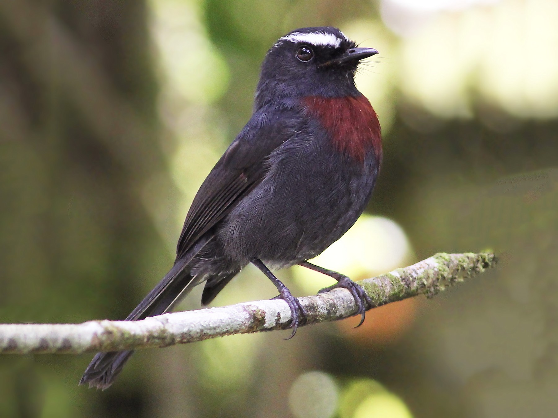 Slaty-backed Chat-Tyrant - Jason Leifester