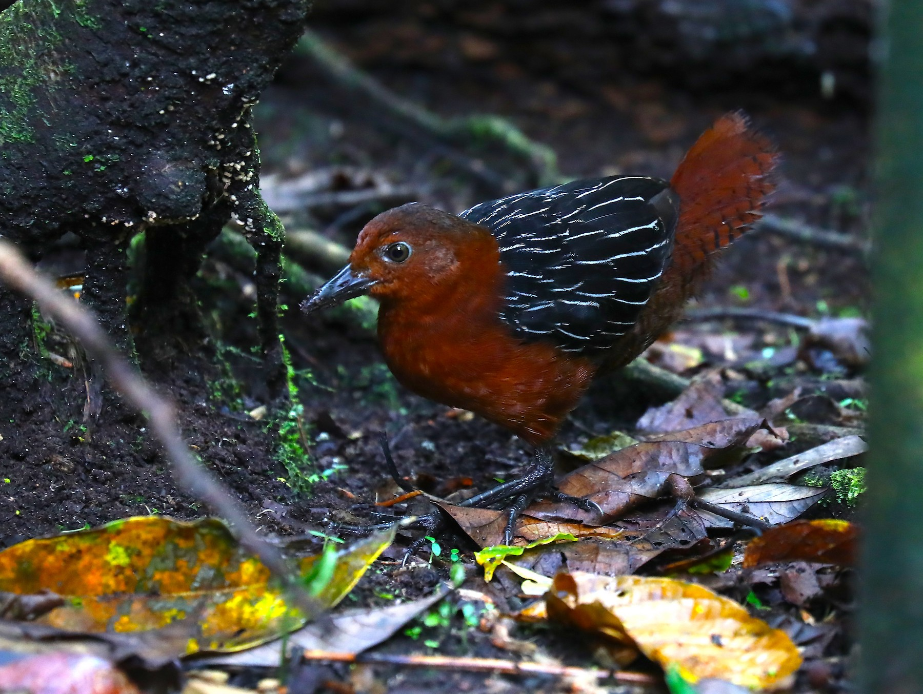 White-striped Forest-Rail - Arco Huang