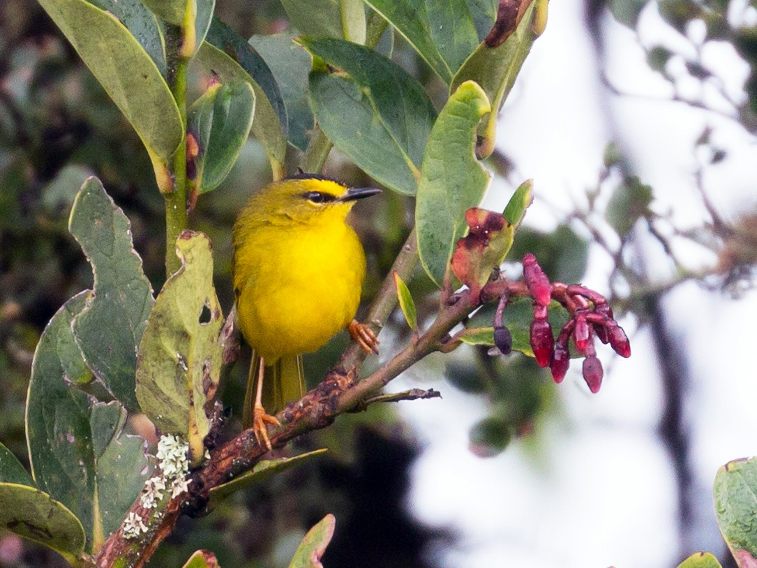 Black-crested Warbler - Patrick VanThull