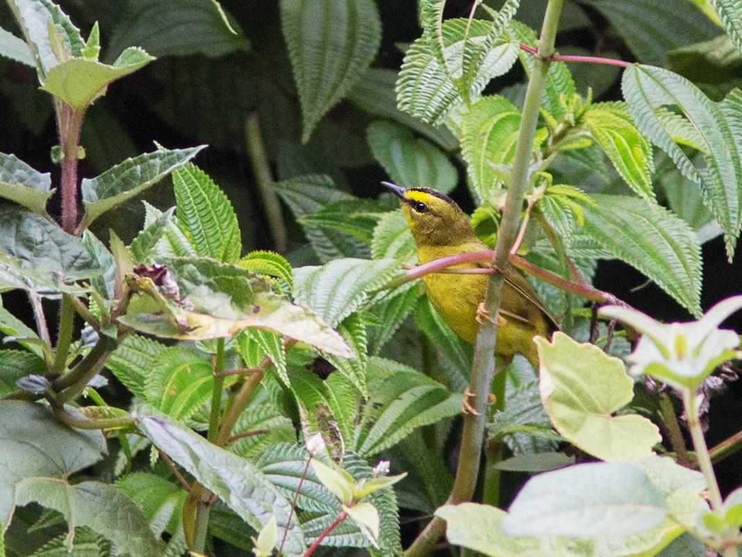 Black-crested Warbler - Suzanne Labbé