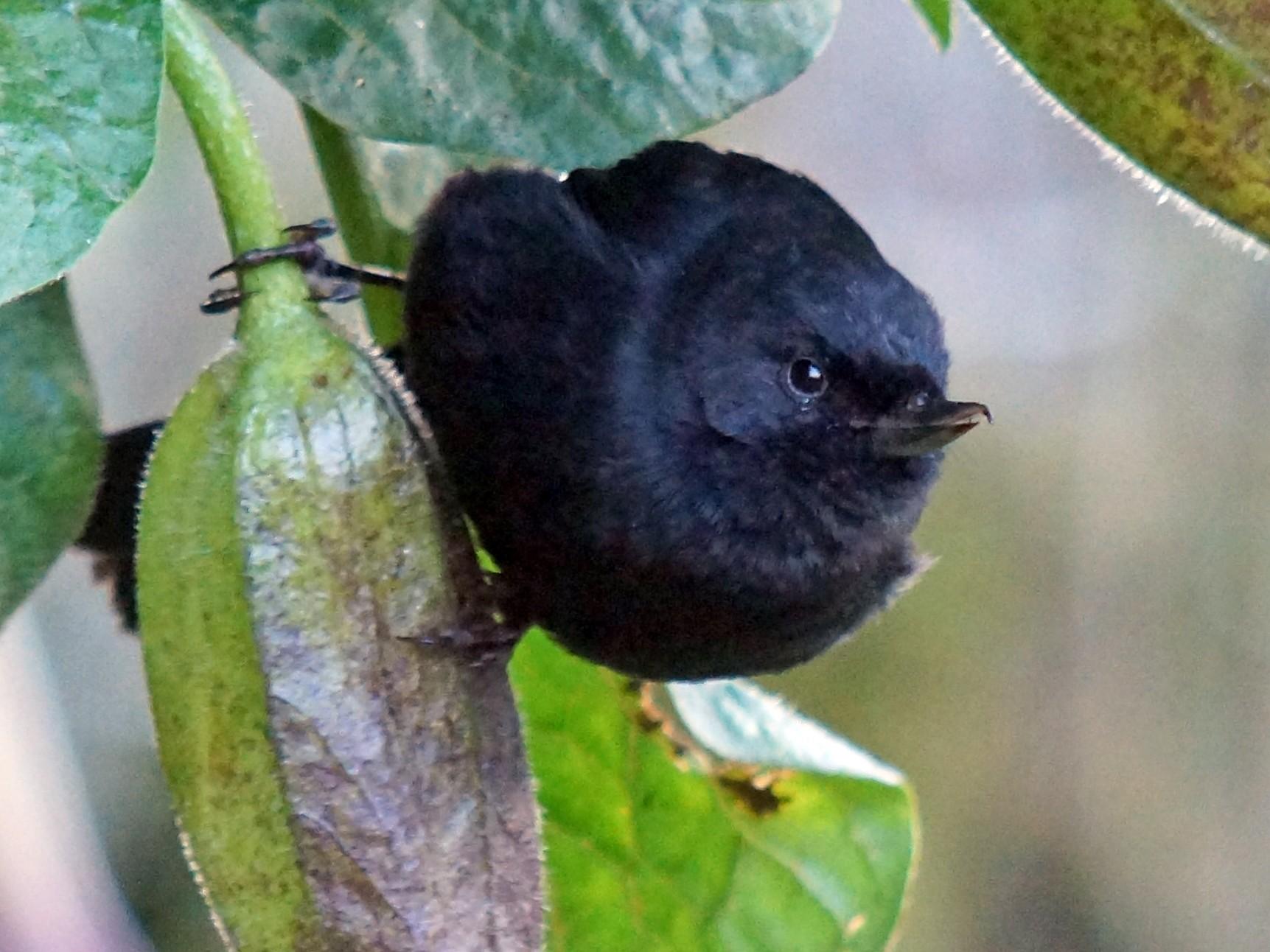 Black Flowerpiercer - Robin Oxley