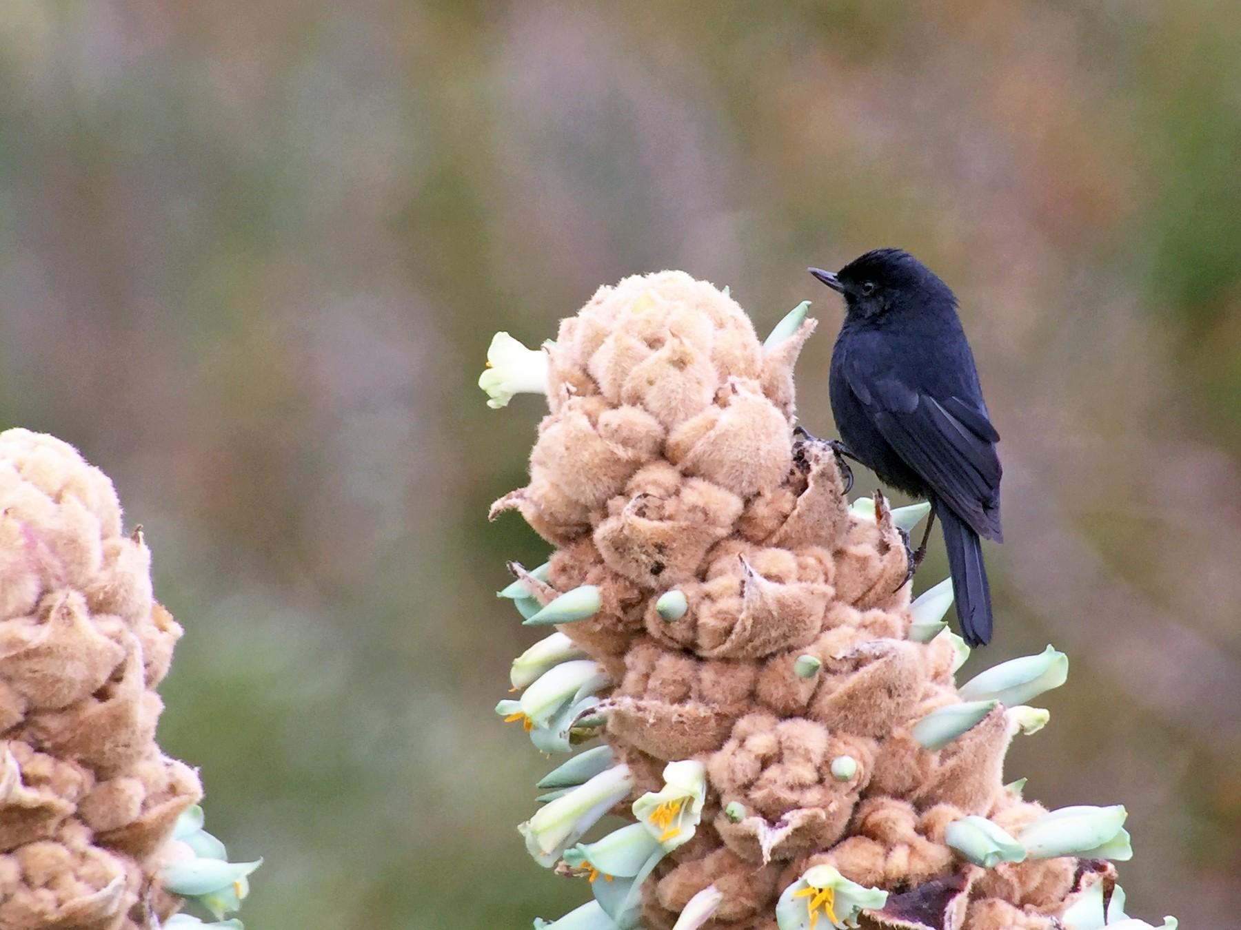 Black Flowerpiercer - Jonathan Creel