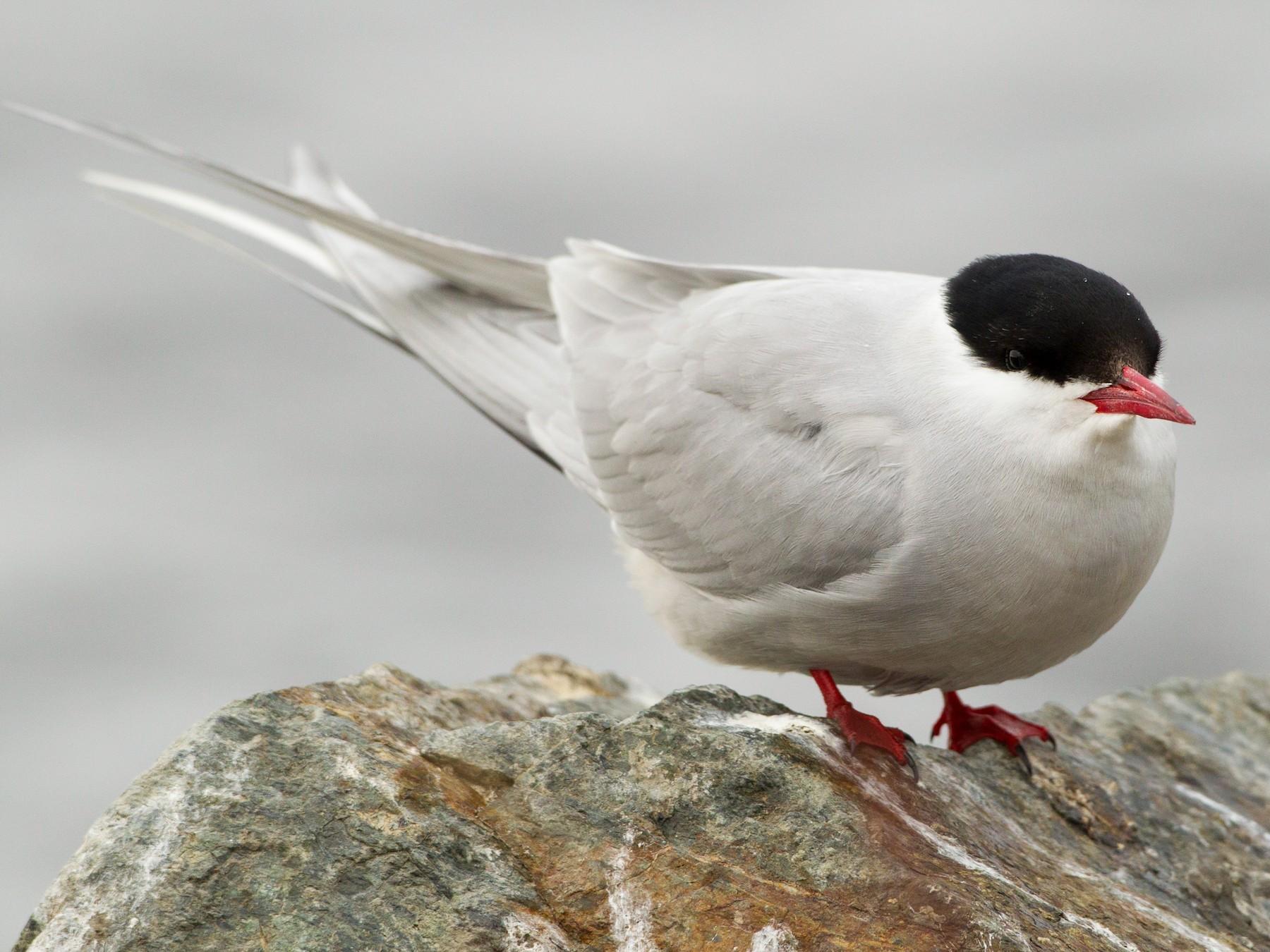 Arctic Tern - Brian Sullivan