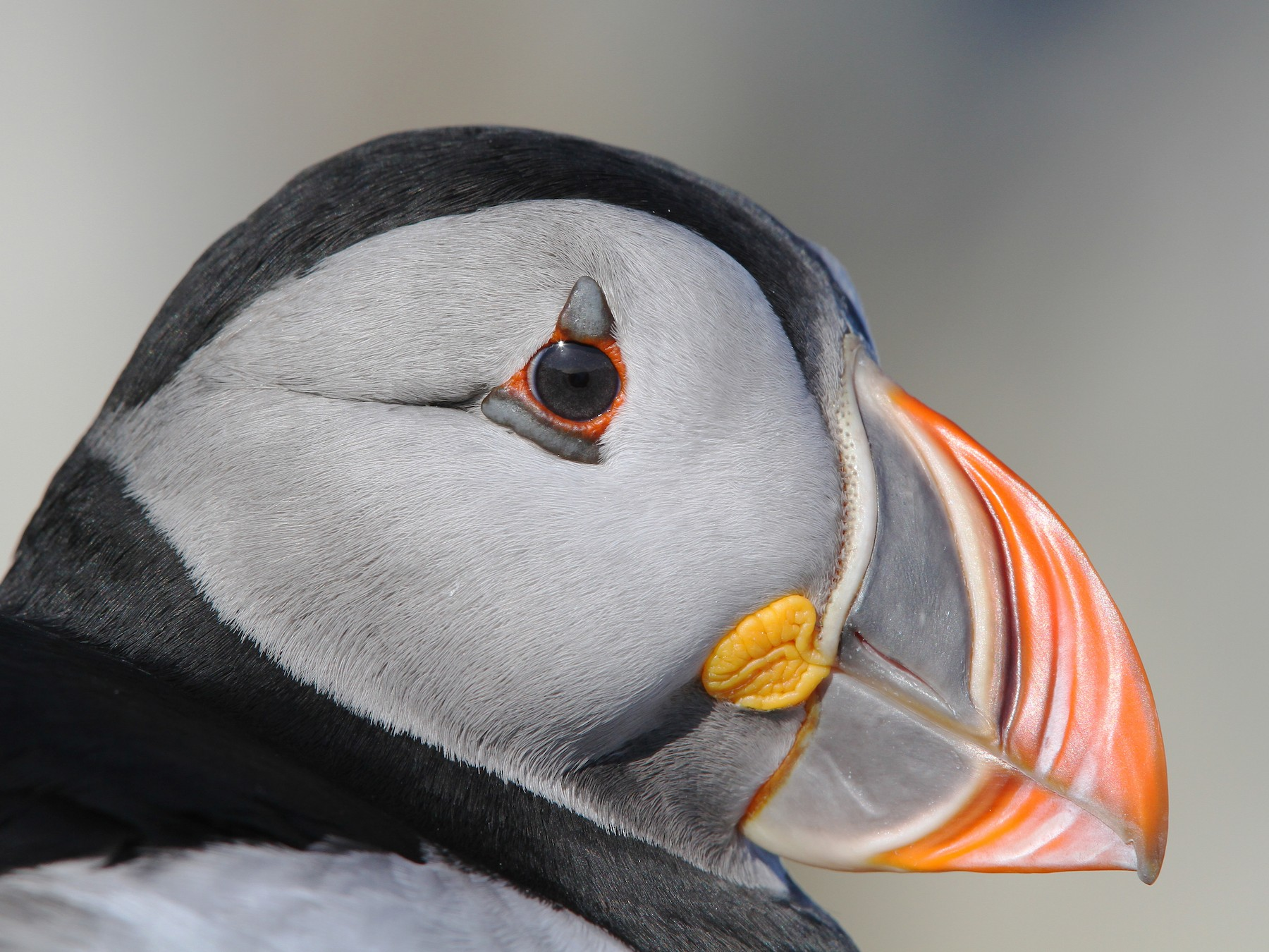Atlantic Puffin - Christoph Moning