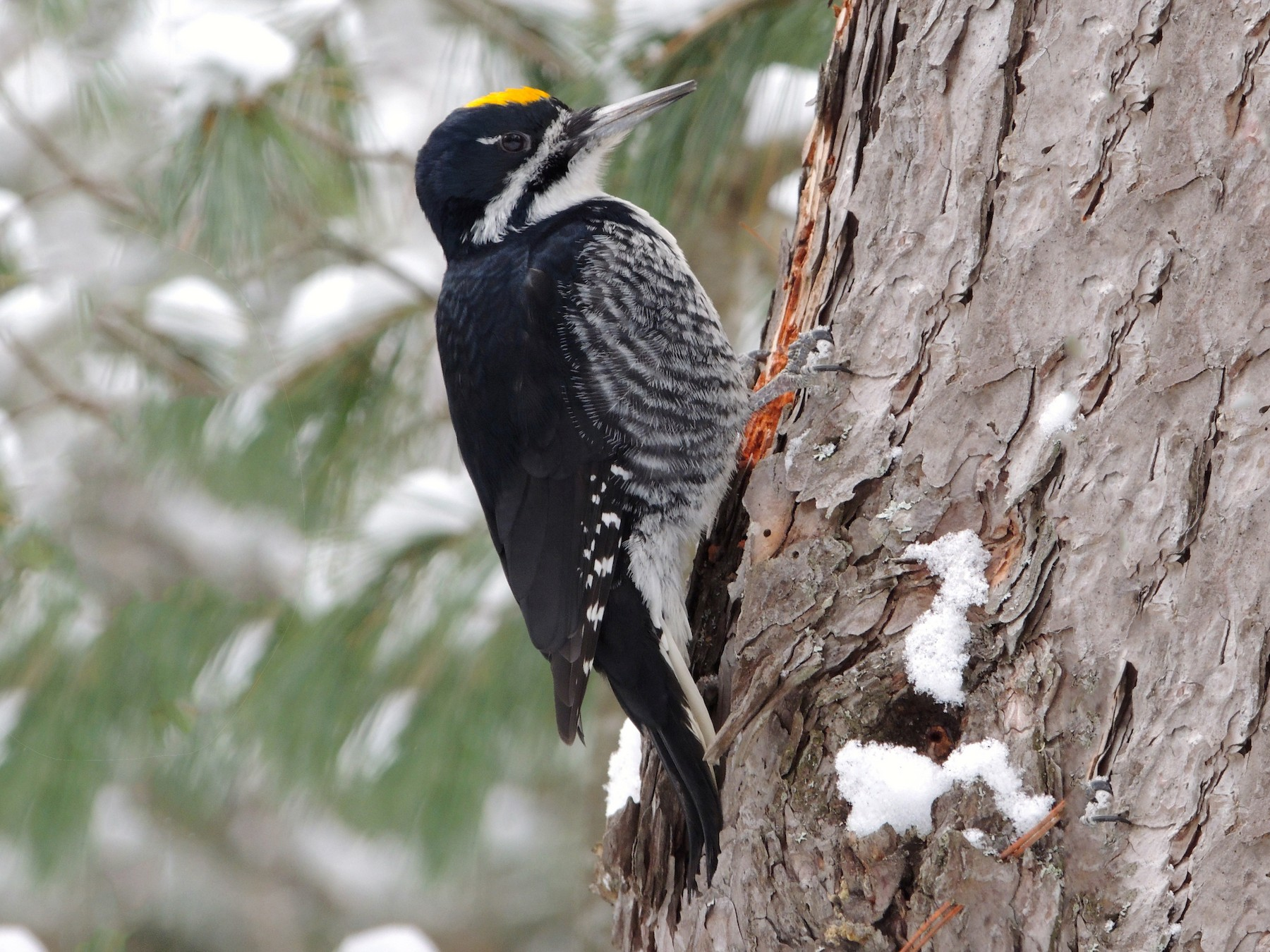 Black-backed Woodpecker - Luke Berg