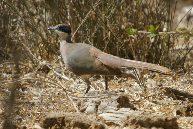 Red-capped Coua (Green-capped)