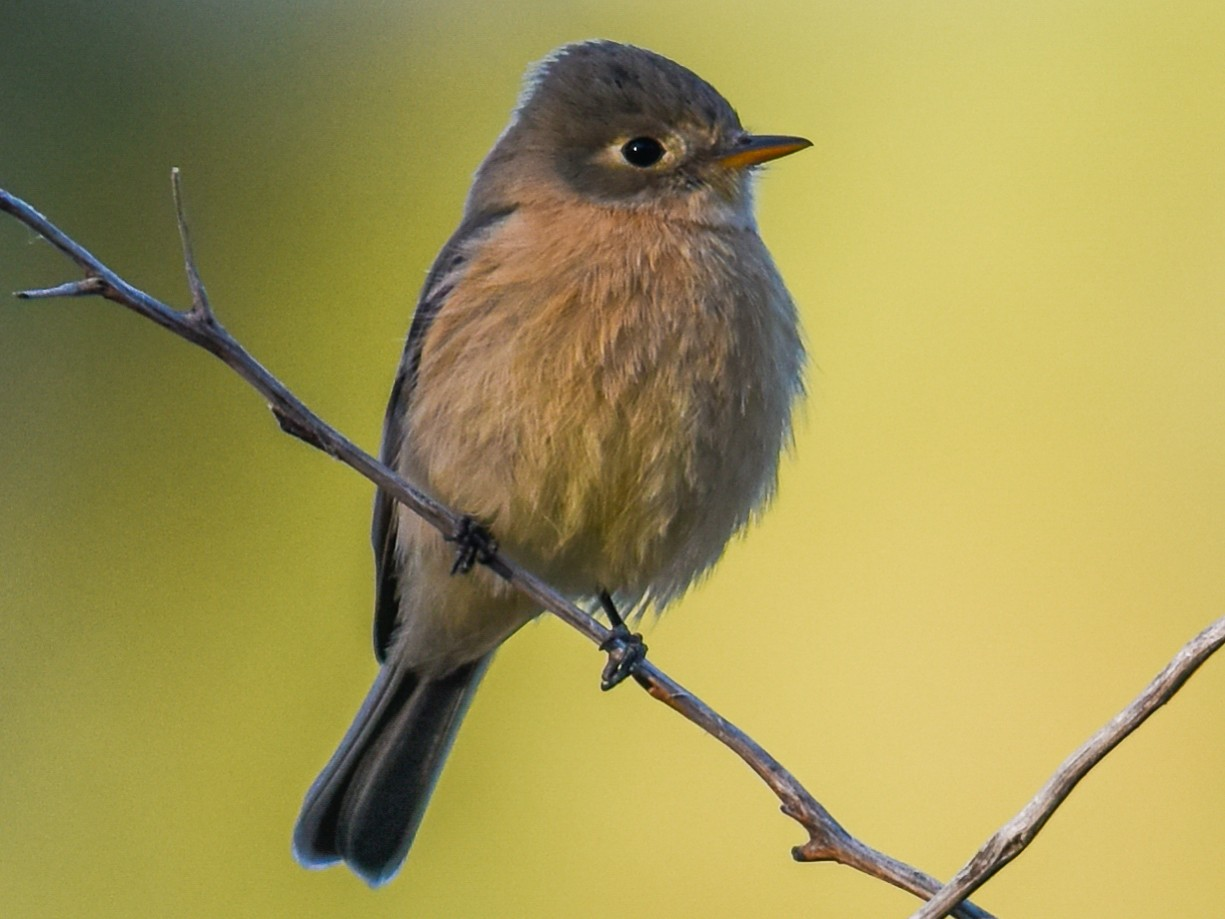 Buff-breasted Flycatcher - Mike Charest