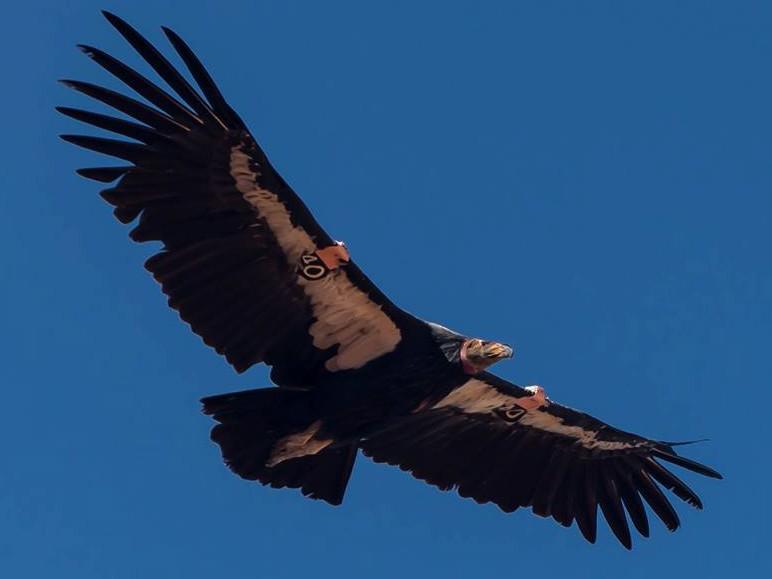 California Condor - Cassandra  Davis