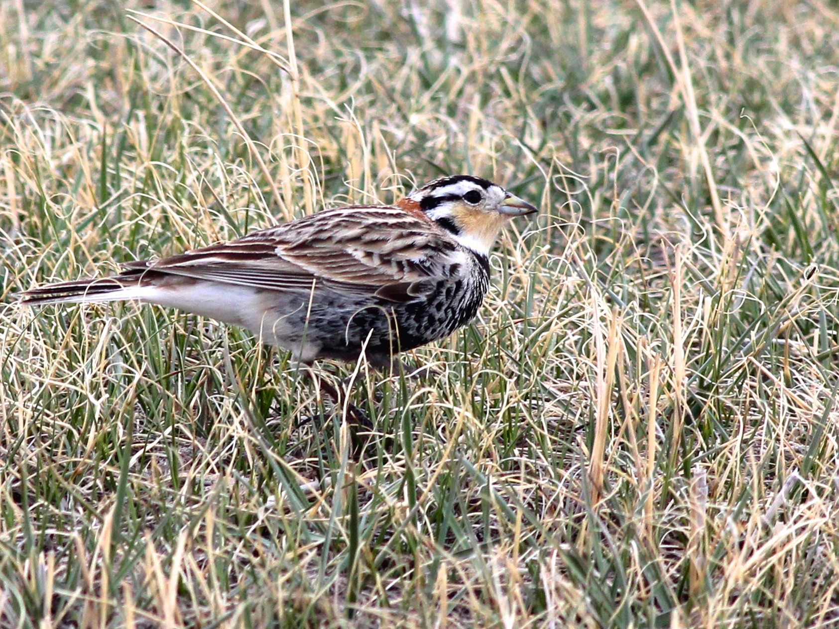 Chestnut-collared Longspur - Shawn Billerman