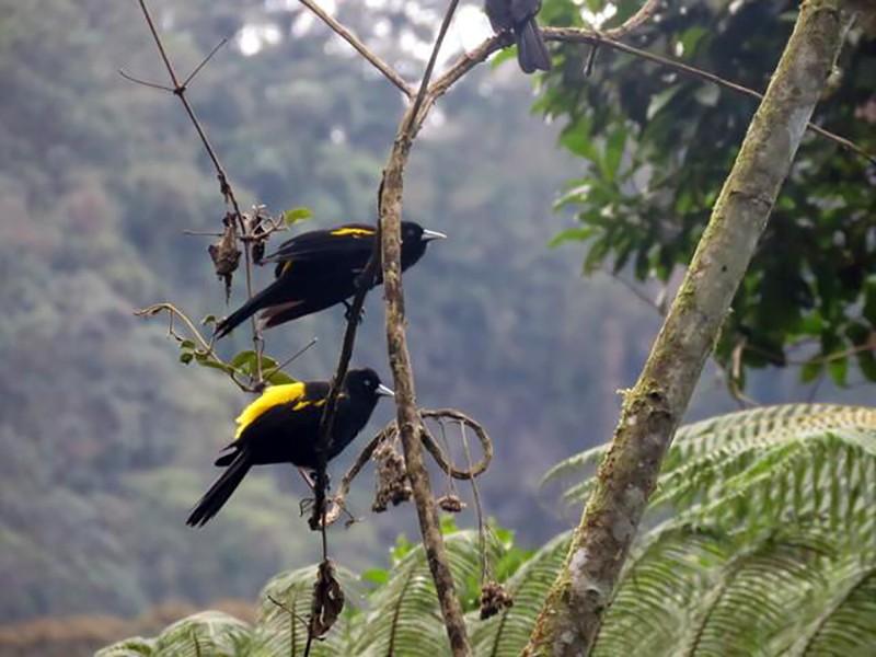 Mountain Cacique - oswaldo Toro Valencia