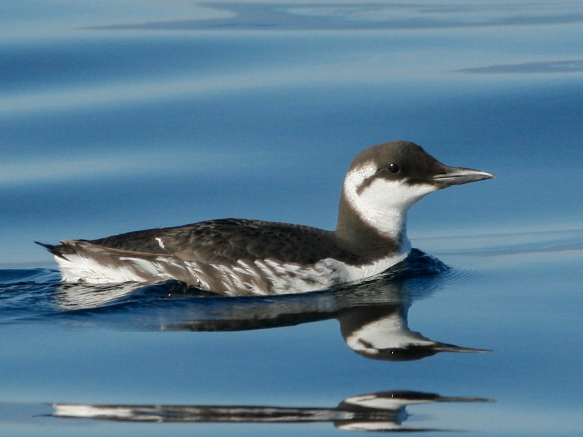 Common Murre - Oscar  Johnson