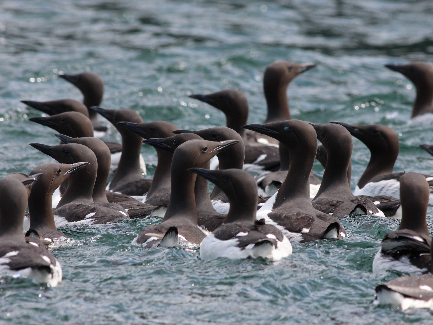 Common Murre - Shawn Billerman