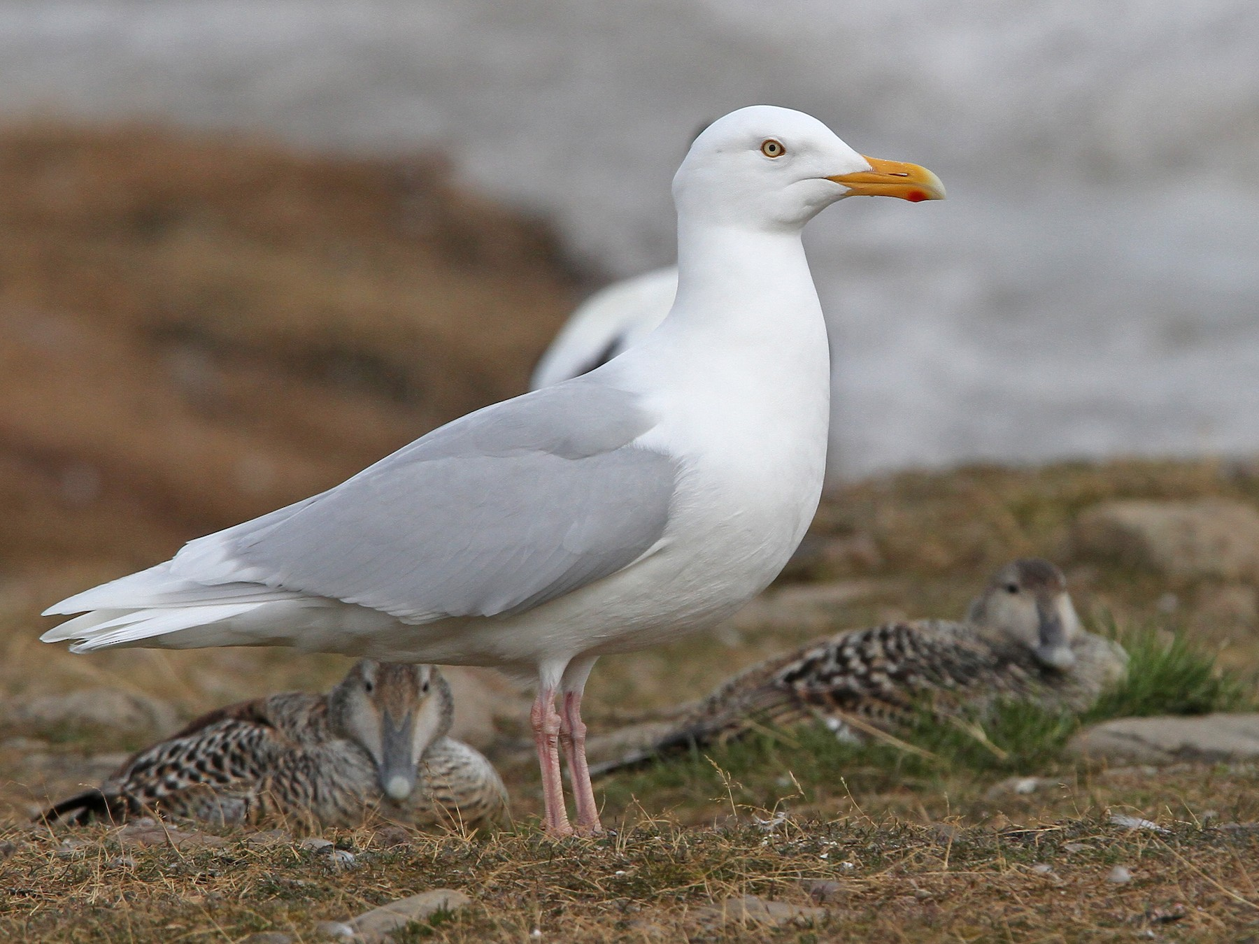 Glaucous Gull - Christoph Moning