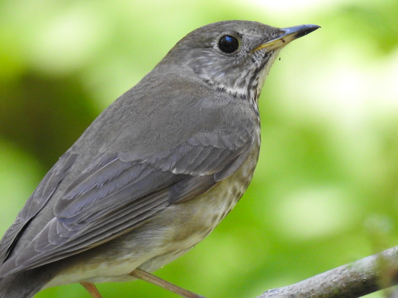 Gray-cheeked Thrush - Alec Napier