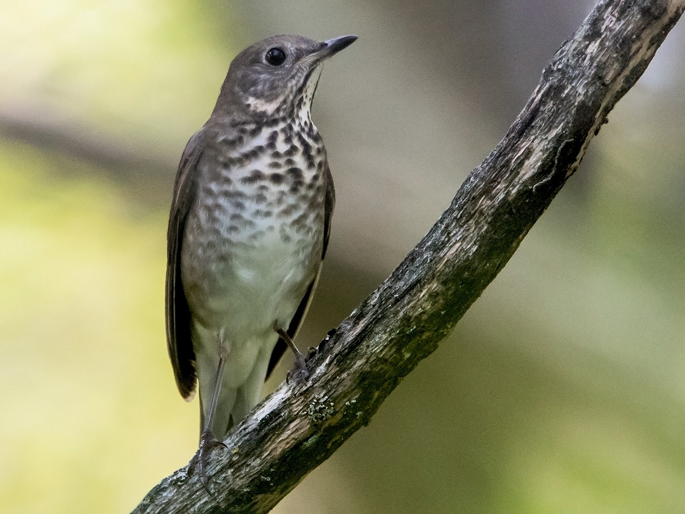 Gray-cheeked Thrush - Sue Barth